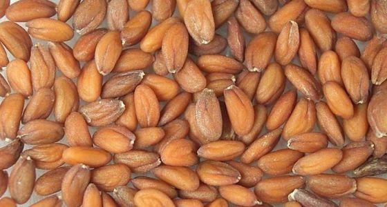 Semienka žeruchy