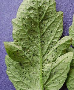 Encarsia formosa je parazitická vosička, která likviduje molice.