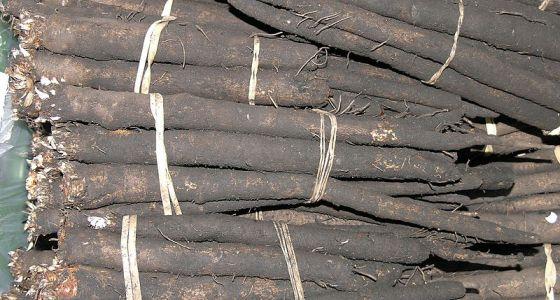 černý kořen