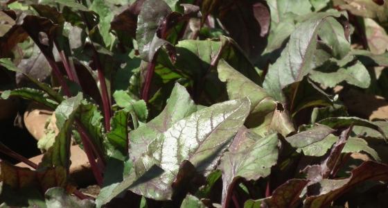 řepa na zahradě