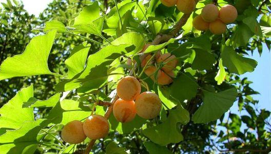 Plody ginko biloby
