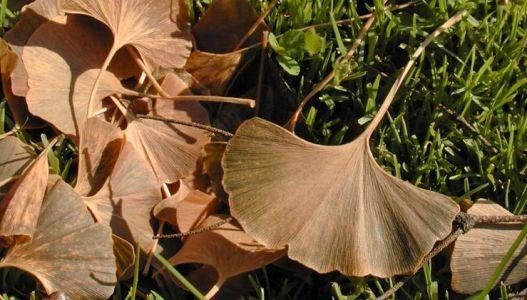 Listy ginkgo biloby na podzim opadají