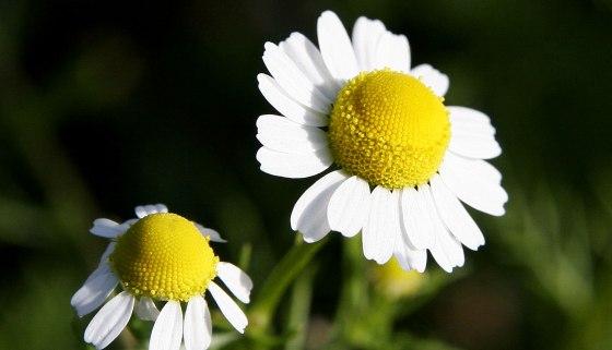 květ heřmánku