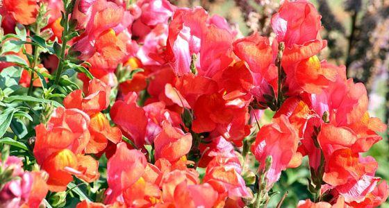 Papuľky oranžovo-ružové