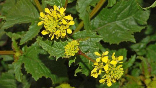 Hořčice polní je ideální pro zelené hnojení.