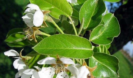 Kvety hrušky
