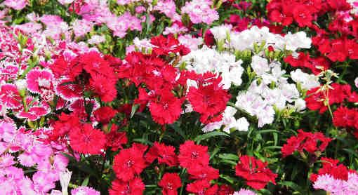 Hvozdíky a karafiáty kvetou různými odstíny růžové a fialové.