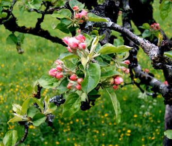 Pro dobrou plodnost a zdraví jabloně je třeba každoroční řez (prořezávání).