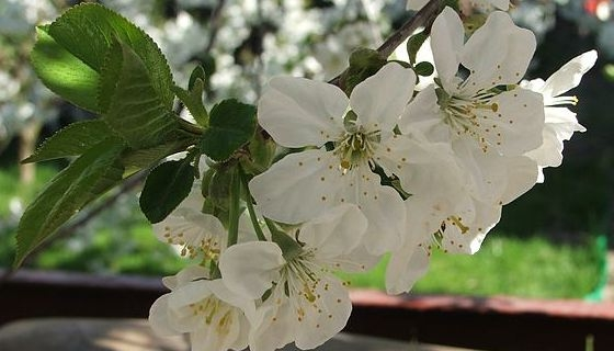 Stromy na jaro vykvetou