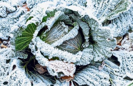 kapusta v zimě