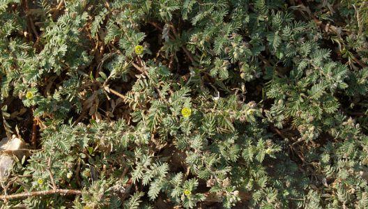 Rostliny kotvičníku napadené škůdci ošetřujte ekologicky nezávadnými prostředky.