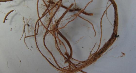 kořen kozlíku lékařského