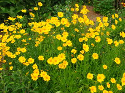 Krásnoočko veľkokveté