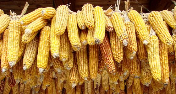 Klasy usušenej kukurice
