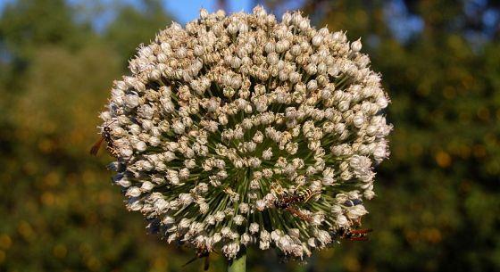 Kvet cibuľe