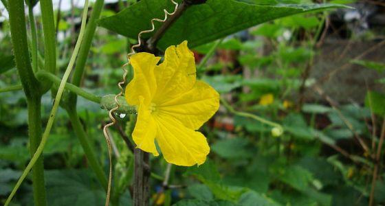 Květ okurky nakládačky.