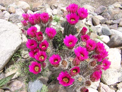 Kvitnúci kaktus