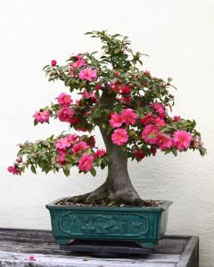 Některé bonsaje Vás odmění nádhernými květy.