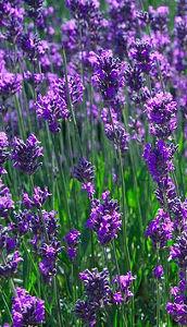 Květy levandule jsou přísadou provensálského koření.