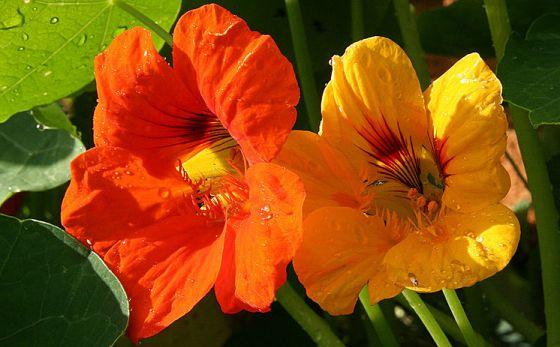 kvet kapucínky