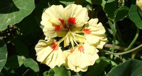 kvetoucí lichořeřišnice