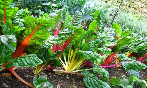 mangold na zahradě