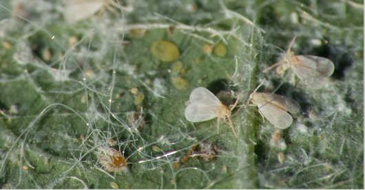 Molice jsou malé můrky na spodu listu. Jde o významné škůdce.