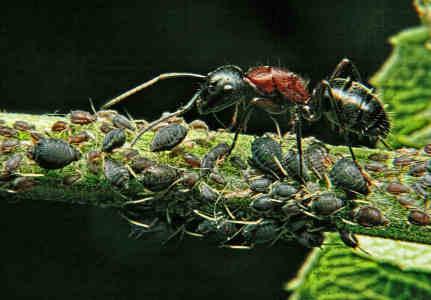 Mravenci si pěstují mšice a je obtížné se jich zbavit.