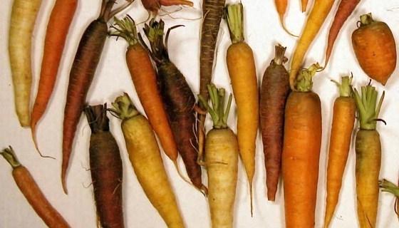 druhy mrkví