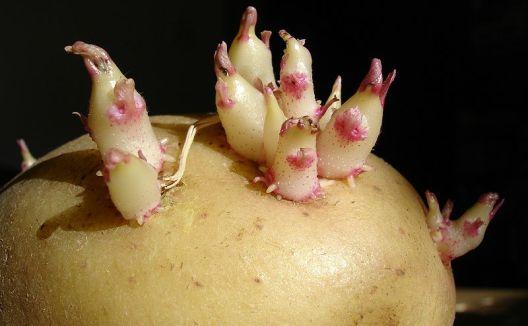 Koncem dubna je ideální doba pro výsadbu brambor.