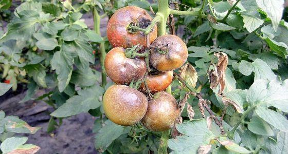 rajče napadené houbovou chorobou