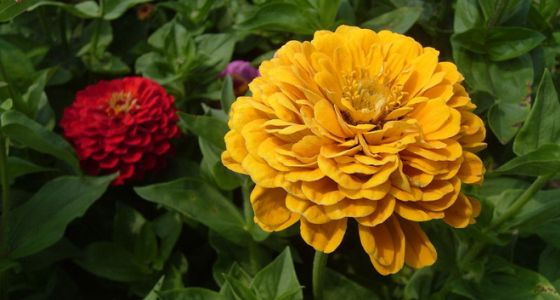 Kvety cínie
