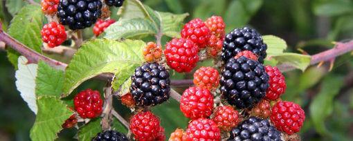 Ostružiny patří mezi léčivé lesní ovoce. Lze je pěstovat i na zahradě.