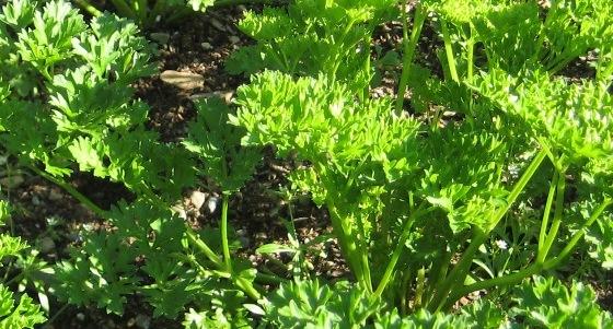 petržel na zahradě