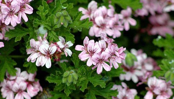 Kvety pelargónie
