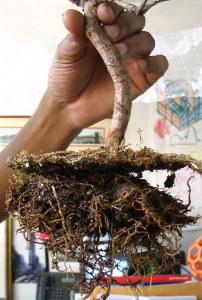 Kořínky bonsaje mají být jemné a mělké.