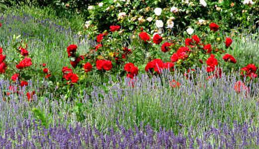 Růže a levandule se navzájem krásně doplňují