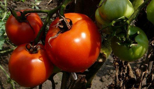 Seříznutím vegetačního vrcholu tyčkových rajčat urychlíte dozrávání.