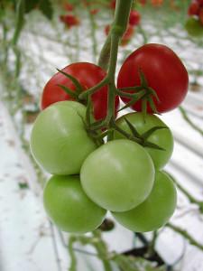 Kvalitu rajčat lze ovlivnit výběrem vhodných sousedních rostlin.