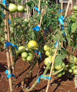 V červnu nezapomeňte vyvazovat tyčkové rajčata.