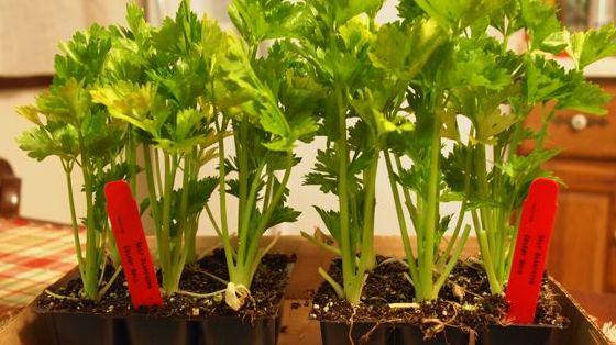 sazenice celeru