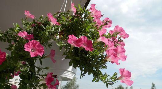 Květiny v závěsných truhlících potřebují dostatek vody a živin.
