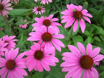 Třapatka nachová (echinacea) je působivá trvalka s léčivými účinky.