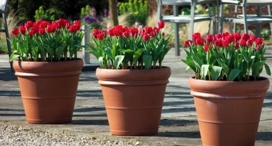 Rýchlené tulipány