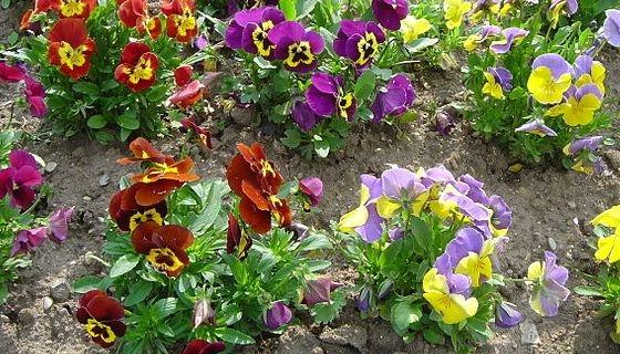 violky na záhonu