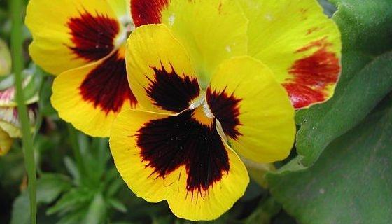 žluté květy macešek