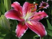 Rady k pěstování lilií