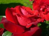 Jak na zdravé růže 1/2