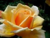 Jak na zdravé růže 2/2
