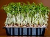Pikantní řeřicha k celoročnímu pěstování